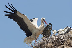 Back from the grocery -     (Mitsos Stergiou) Tags: bird nest plasticbag juvenile stork whitestork ciconiaciconia