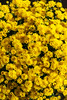Chrysanthemums (Raoul Pop) Tags: flowers autumn fall colors yellow canon us bush unitedstates maryland chrysanthemums northbethesda canoneos5d