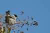Capinera (Sylvia atricapilla) - Blackcap ♂ (Carla@) Tags: nature birds canon europa italia wildlife liguria ornithology oiseaux blackcap mfcc coth sylviaatricapilla top20birdshots capinera avianexcellence fabuleuse coth5 naturallywonderful sunrays5 explorenaturethewildnature