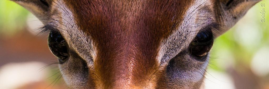 la gazelle aux yeux d'or