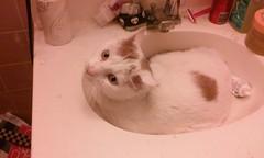 Our Newest Family Member Mogar (kerrins_giraffe) Tags: white cat bathroom sink kitty