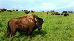 Oldham County, KY buffalo farm. (mi_hulsman) Tags: blue trees green field grass clouds evening buffalo farm kentucky herd grazing oldhamcounty