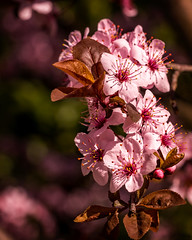 Fowering Plum (Pete Douglass) Tags: pink red flower macro closeup blossom bloom flowering floweringtree floweringplum