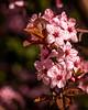 Fowering Plum (Pete Douglass) Tags: pink red flower macro closeup blossom bloom flowering floweringtree floweringplum