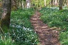The narrow road (Anders Bromell) Tags: forest path skog stig vag woodanemones vitsippor fotosondag fs160515