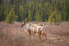 Scruffy spring caribou (frostnip907) Tags: nature alaska reindeer wildlife caribou