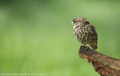 Little Owl (Alastair Marsh Photography) Tags: bird birds animal animals spring wildlife yorkshire feathers feather owl britishwildlife owls birdsofprey birdofprey springtime smallbirds littleowl smallbird britishbirds britishbird littleowls britishanimals yorkshirewildlife britishanimal animalsintheirlandscape
