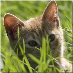 Gato escondido (jjbesadarico) Tags: puppy galicia gato gatitos perritos