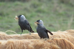Birds with mou'stache (Betty Olsen) Tags: nature birds fur spring cattle cows nest betty highland nancy olsen niv jackdaw