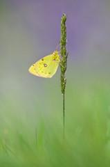 Gelbling (MichaelMerl) Tags: butterfly bayern nikon falter schmetterling gelbling tagfalter