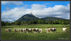 Le troupeau de vache au pied du Puy-De-Dome (Blondie @ girl) Tags: google flickr canon canonpowershotg12 france auvergne puydedome volcan ciel prairie vache agriculture herbe neige montagne colline pre troupeau bovin mammifere herbivore vacca vaca cow vulcano lave lava volcano nature natur naturaleza paysage herb flore faune charolaise