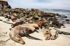 Beach Days (thisbrokenwheel) Tags: ocean sea landscape mammal sandiego lajolla seal sealion pinniped