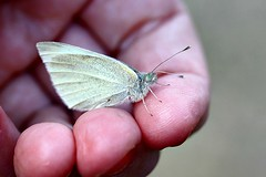 First Butterfly Of 2016 004 - Pieris Rapae (Chrisser) Tags: ontario canada nature digital butterfly insect butterflies insects pierisrapae pieridae lens00025 canoneosrebelt1i smallwhitecabbagebutterfly canonefs60mmf28macrousmprimelens
