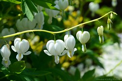 (Sandra Kirly Pictures) Tags: flowers outdoor poland krakw cracow botanicalgarden bleedinghearts ogrdbotaniczny