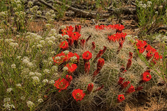 red cacti and spring Canyonlands NP (maryannenelson) Tags: flowers red plant cacti utah nationalpark spring blossoms canyonlands