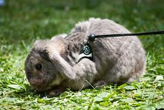 Eppure ero sicuro di aver visto una margherita (divi333) Tags: rabbit bunny bunnies ferrara rabbits conigli coniglio 2016 conigliando