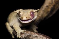 Wash up! (frosol) Tags: macro nature animal canon eos natur gecko makro dyr gekko ef100mm krypdyr akvarietbergen canoneos5dmarkiii 5dmkiii 5dmarkiii ef100mmf28lmacroisusm