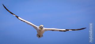 Gannet in Flight on the Great Saltee Island