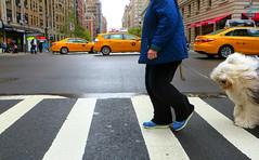 Dogwalk... (Robert Saucier) Tags: auto street newyorkcity dog chien newyork car pavement manhattan cab taxi yellowcab rue img1457