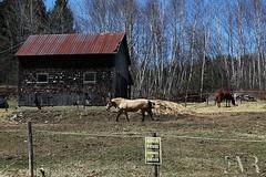 Vieille cabane et chevaux (E-M Costard) Tags: old horse canada building animals barn rural cheval village quebec animaux campagne ferme grange estrie chevaux btiments rurale cantonsdelest table evemarie