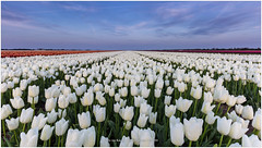 Tulips in the Blue Hour, Netherlands (CvK Photography) Tags: flowers holiday color nature netherlands canon landscape spring europe tulips nederland tulip nl noordholland tulpen northholland stompetoren tulps