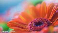 Spring bunch intimacy (frederic.gombert) Tags: blue light sky orange cloud sun flower color macro green colors garden spring colorful gerbera bunch greatphotographers
