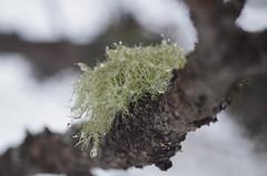 Wet lichen (Morze.Stefano) Tags: tree lichen licheni