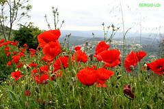 PAPAVERI (SergioLoi) Tags: sardegna flowers italy primavera flora italia sardinia campagna fiori rosso papaveri barbagia esterzili