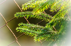 Zaundekoration (thorvonasgard) Tags: light closeup fence licht zaun nahaufnahme effekt tannenzweig firneedle