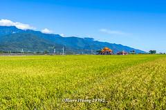 Harry_29392,,,,,,,,,,,,,,,,,,,,, (HarryTaiwan) Tags:                      rice taitung     harryhuang   taiwan nikon d800 hgf78354ms35hinetnet adobergb chihshangtownship taitungcounty