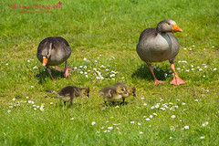 Greylag Goose and Goslings Family (Kelly Love's Photography) Tags: family baby cute green grass birds daisies canon rebel geese spring babies feathers fluffy goose goslings canonrebel essex canoneos birdwatching spotting greylag greylaggoose springwatch canonphotography 650d t4i hanningfieldreservoir eos6d canonef70200mmf4lusm canon6d essexphotographer canon650d canoneos650d rebelt4i kellylovesphotography