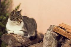 Tranquilidad con Kai (Leonel Gallard) Tags: pet cats pets cute love argentina cat canon photography eos photographer 365 fotgrafo leonel argentino argentinean meditar gallard 60d eos60d