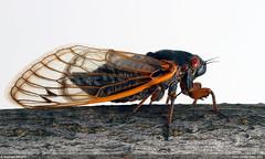 Brood V Cicada (Pregilla) Tags: nature ecology cicada naturalhistory environment entomology 17year magicicada periodicalcicada broodv