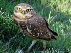 Coruja Buraqueira - Burrowing owl (cariselazari) Tags: parque wild nature natureza ave owl campo coruja buraco silvestre burrowingowl arlivre corujaburaqueira