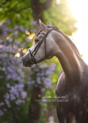 Shanti (Hestefotograf.com) Tags: summer horse white norway caballo cheval cavalo pferd stallion whitehorse equine equus paard purarazaespanola hestefotograf