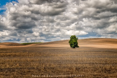 The Lone Tree (DeniseDewirePhotography) Tags: light shadow sunlight field clouds washington wheat lonetree palouse endicott endicotteroad