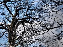 Mountain Trees (skipperlin10) Tags: trees mountains hills northcarolina spring nature blueridgeparkway mtpisgah