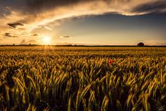 20160615 - Couche de soleil - STEINMETZ Nicolas (steinmetznicolas) Tags: sunset flower nature landscape juin paysage coquelicot couchdesoleil 2016 schirrhein