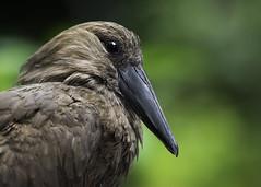 Hamerkop (Paul E.M.) Tags: africa tanzania arabia tufted umber stork hammerhead sdzoo hammerkop madasgascar anvilhead umbrette hammerkoph