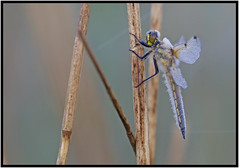 Four-spotted Chaser (CliveDodd) Tags: dragonfly chaser fourspotted
