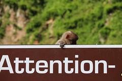 Attention (ellievking1) Tags: nature animals japan monkeys hotspring nagano jigokudani macaques monkeypark yudanaka