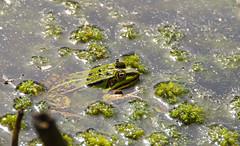 gut getarnt (Krnchen59) Tags: nature germany frog frosch elke niedersachsen krner tisterbauernmoor krnchen59 pentaxks2