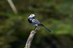 White Wagtail (abritinquint Natural Photography) Tags: bird vogel natural wildlife nature wild nikon d7200 telephoto 300mm pf f4 300mmf4 300f4 nikkor teleconverter tc17eii pfedvr germany wagtail whitewagtail white black perch
