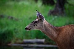 The Deer (jacques.raymond10) Tags: calgary deer alberta whitetail inglewoodbirdsanctuary naturecentre