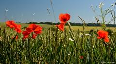 Mohn im Waizenfeld (diwe39) Tags: felder mohn getreide weizen sommer2016