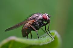 DSCF7130 (faki_) Tags: insect fly fuji fujifilm 24 60 250 dcr rovar xe1 raynoxdcr250 lgy fujinonxf60mmf24rmacro
