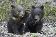 please don't hit me with that small paw (Steve Courson) Tags: grizzlybear cubs stevecourson yellowstonenationalpark coy