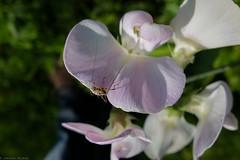 20160608 020 (photog_at) Tags: flowers garden natur pflanzen blumen finepix fujifilm garten x20 fujix20