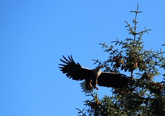 White-tailed Eagle (Morten T.) Tags: nature norway eagle whitetailed sund hordarland