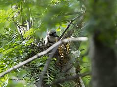 DSC05310auto (Timothy James I.) Tags: birds bluejays smallbirds yardbirds bluejaynest